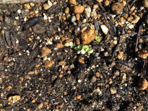 モロヘイヤの芽